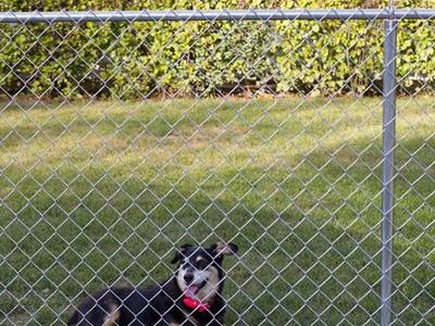 GBW chain link fence keeping your dog in.