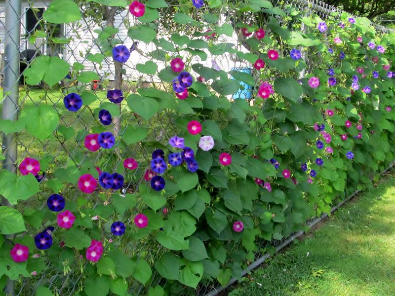 Plants decorating typical residential chain link fence.