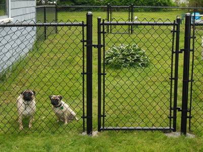 Two cute dogs are staying within black vinyl-coated residential walk gate.