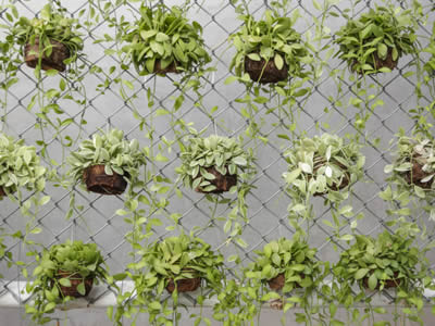 Dischidia nummularia potted plant hanging on chain link fence.