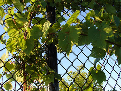 Grapes growing on chain link trellis panels.