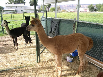 Alpaca shed consists of chain link fence and other components, a black and a withe alpaca standing in the shed.