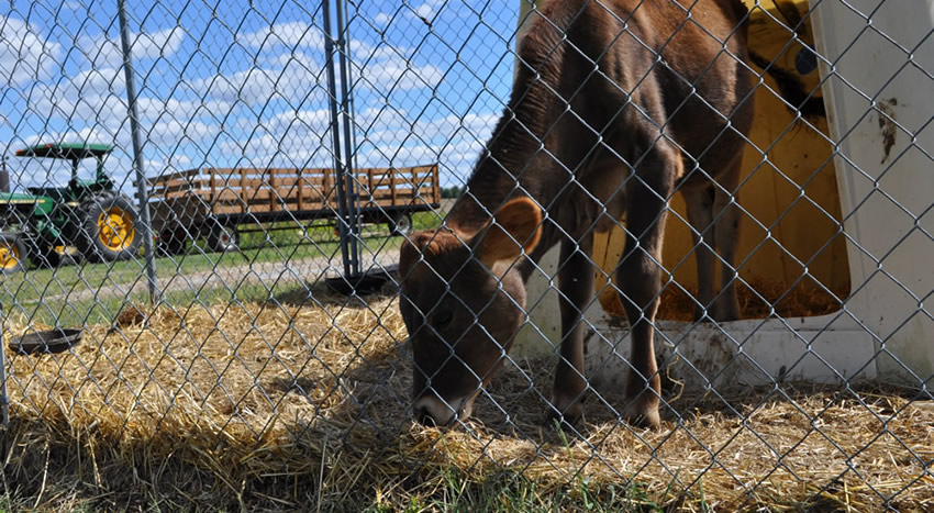 Chain link fence around a calf's shed, the calf is eating grass.