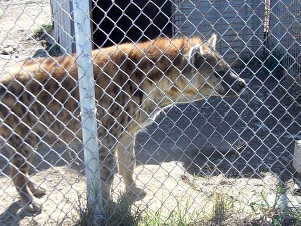 A wolf is contained in a cage made of galvanized chain link fence.