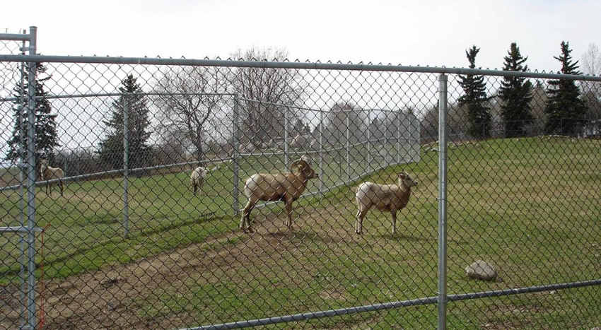 Goat farm is surrounded by chain link fence, some goats standing in the farm.