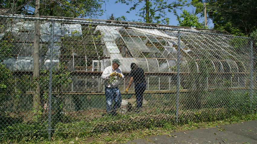 Chain link fence around greenhouse, a man and a woman remove plant vines from chain link fence.