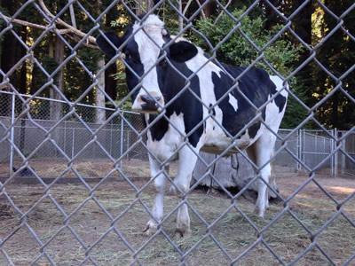 An open-air milk cowshed's fence was chain link fence, inside a milk cow standing and looking at something.