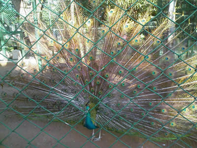 A male peacock is showing off his beautiful tail behind the chain link fence.