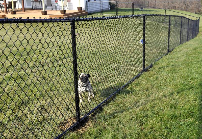 A dog is standing beside a black residential chain link fence with knuckle selvage.
